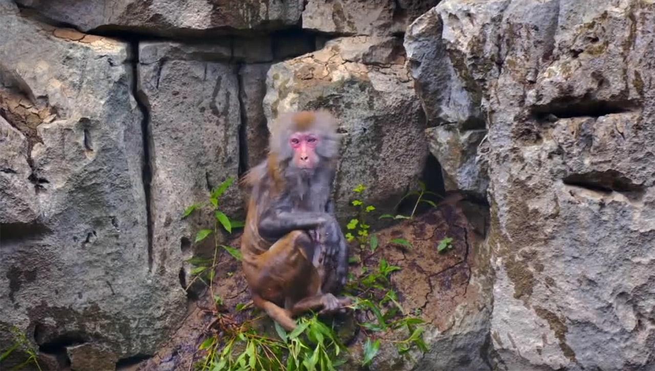 猛洞河猕猴
