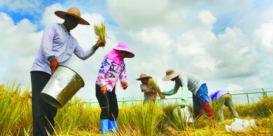 水稻南繁育种人