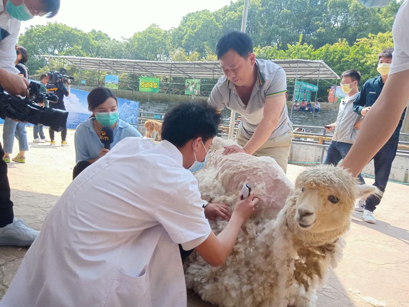 视频|天气热了,看专业美容师给羊驼宝宝剃毛