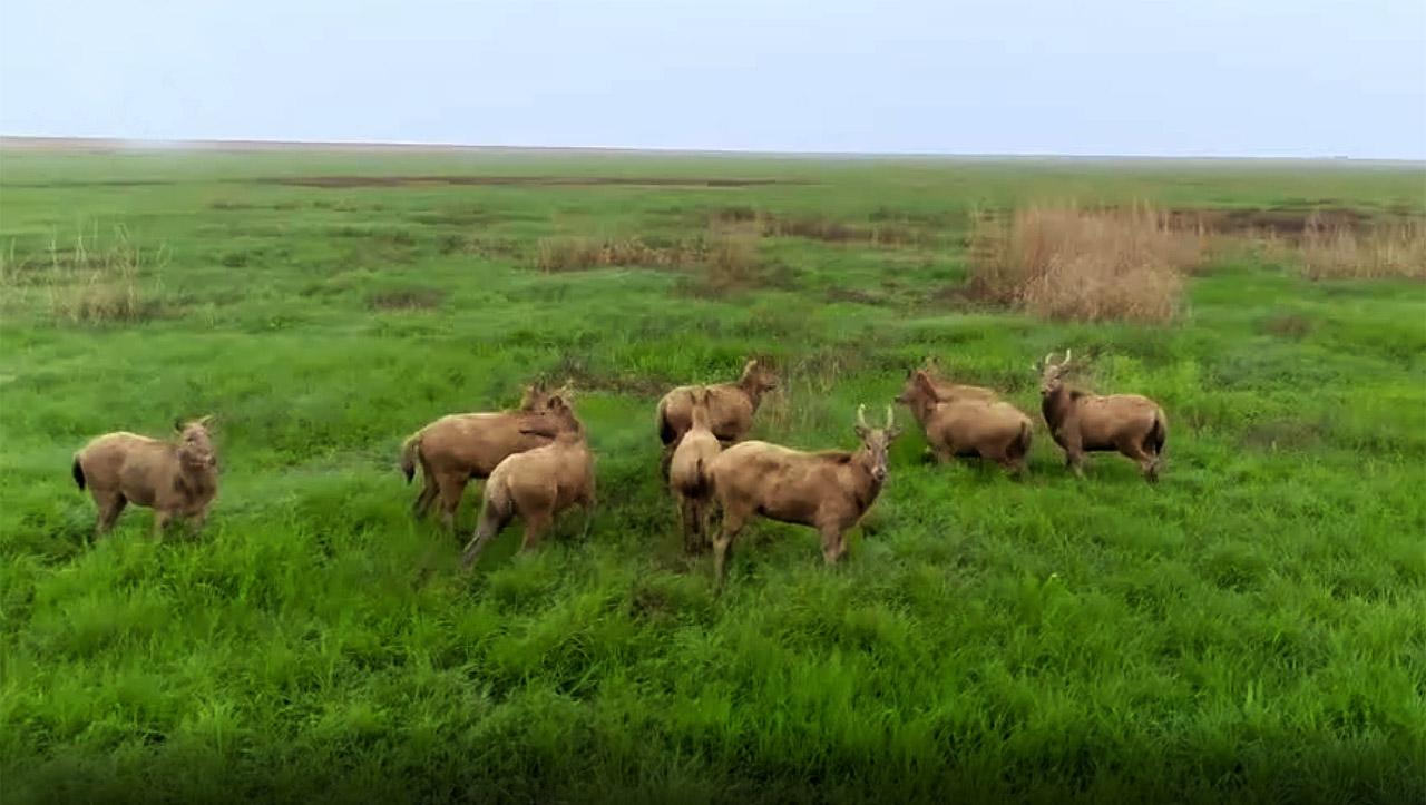 洞庭湖麋鹿