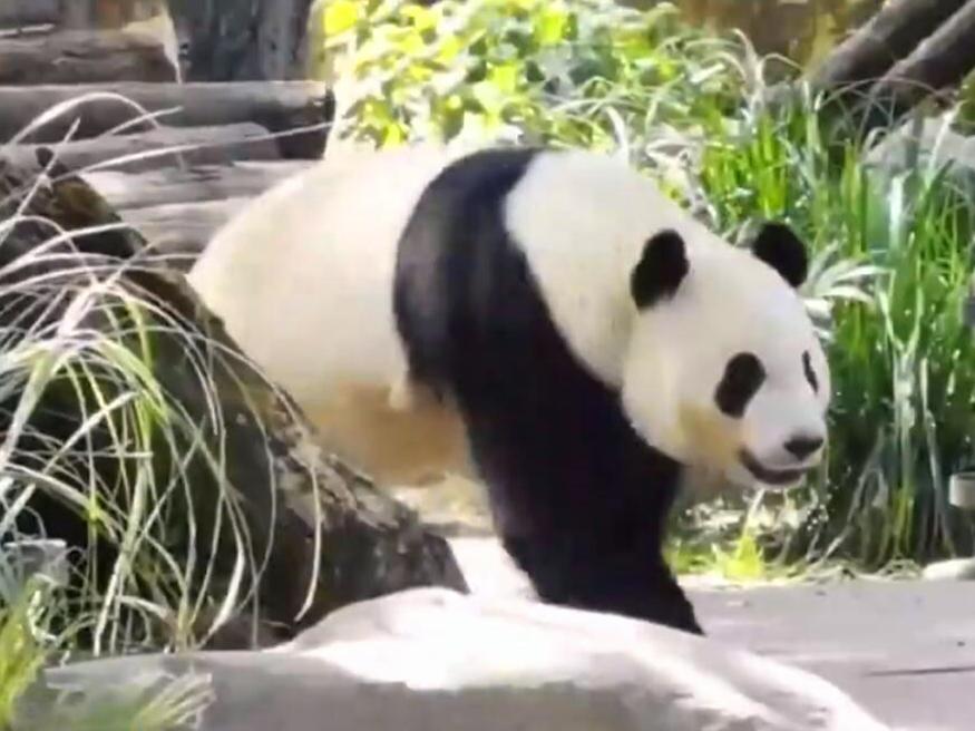 熊猫搬家:卧龙保护区8只大熊猫将落户湘西凤凰
