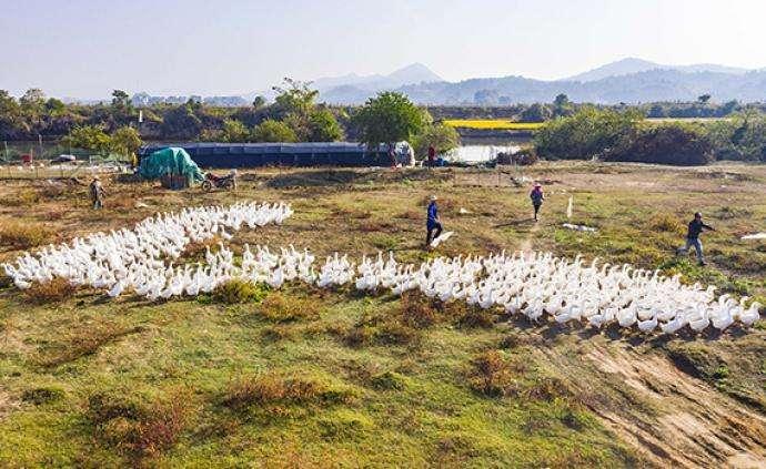 农业农村部明确骆驼、鸵鸟等33种家养畜禽种类,狗不在其中