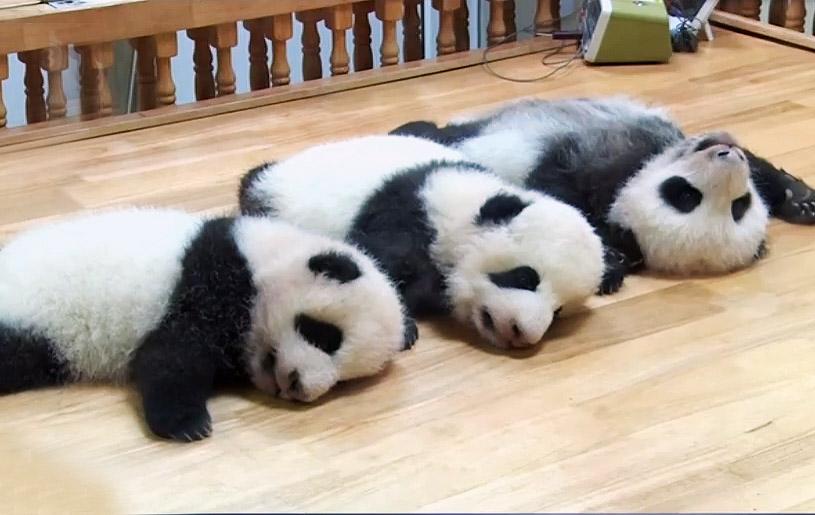 三只大熊猫宝宝初长成