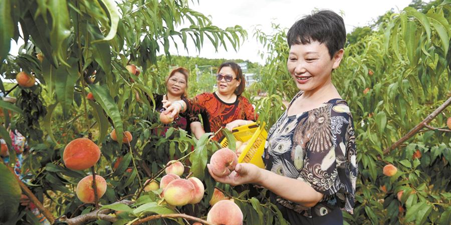 桃子熟了 游客来了