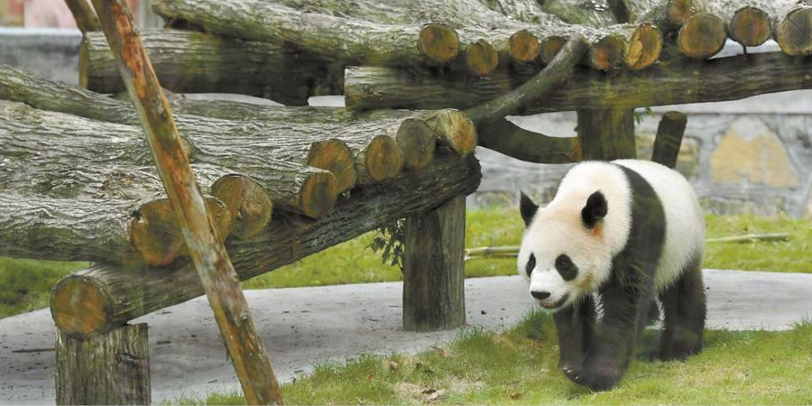 凤凰大熊猫迎客