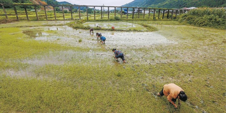 生产自救 抢插水稻