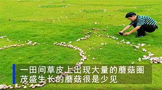 田间出现大片的蘑菇圈 航拍画面曝光后网友直呼:太美了
