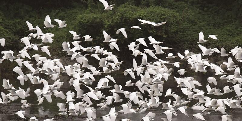 白鹭欢聚永乐江