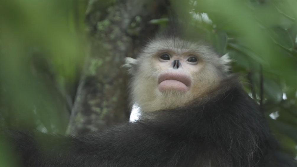 坚守37年!护猴员说曾10年没见过滇金丝猴