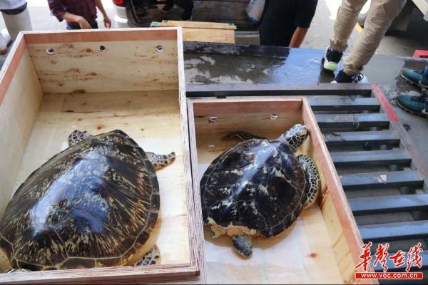 """长沙检察助力29只珍贵、濒危海龟""""飞回家"""""""