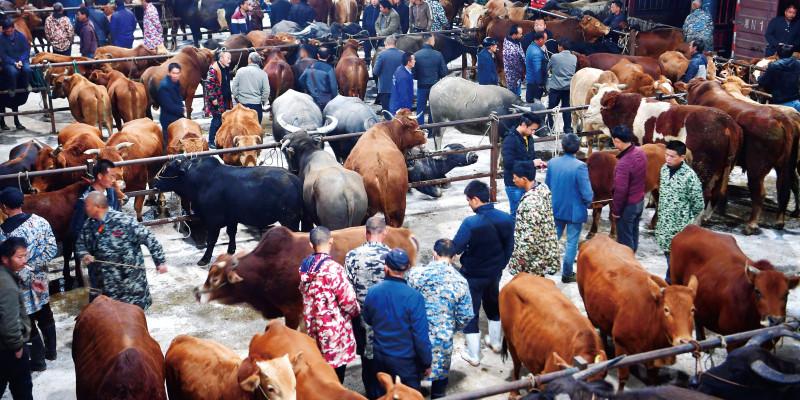 年交易量逾5万头 乾州牛市很牛