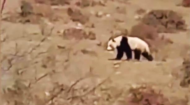 """四川宝兴发现野生大熊猫,村民打趣叫它""""大哥"""""""