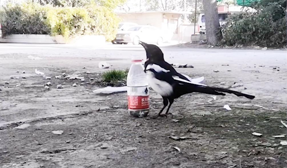 聪明又可爱!原来课本里的乌鸦喝水是真的