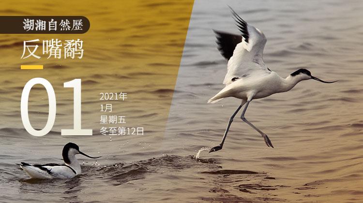 湖湘自然历丨看哪,那只鸟的嘴好怪!