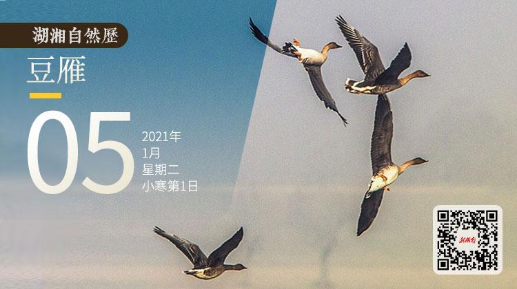 湖湘自然历丨它们是东洞庭数量最多的冬候鸟之一