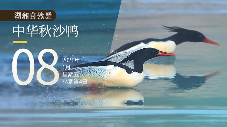 湖湘自然历丨一只有国风气质的鸭