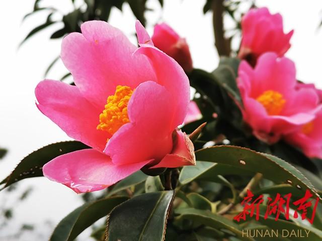 作品赏析丨越是深冬越灿然,山茶花开雪霜天 新湖南www.hunanabc.com
