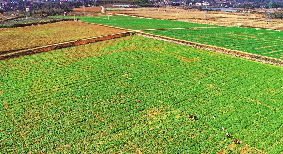 蔬菜产业稳增收