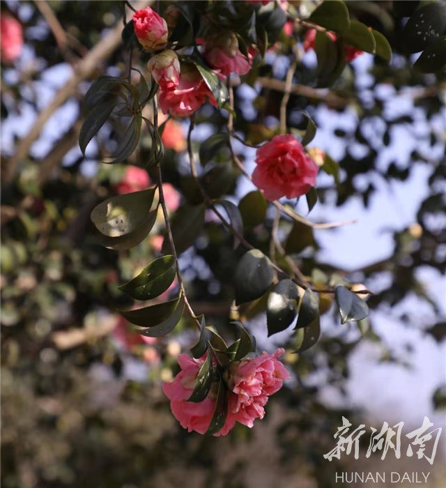 05c0e07d9591c7e8b83ed20e4a1280da1d7740781612322059 - Travel navigation丨Provincial Botanical Garden plum blossom tea flower blooming requires an appointment-Today's attention-Hunan Online-Huasheng Online-Hunan Online