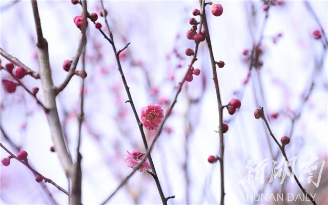 3079ab11a3b3a76ff8d38cb64759f2551eae62cd1612322035 - Travel navigation丨Provincial Botanical Garden plum blossom tea flower blooming requires an appointment-Today's attention-Hunan Online-Huasheng Online-Hunan Online