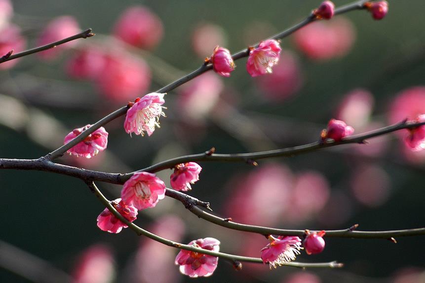 湖湘自然历 立春节气,问梅消息:何处梅花开?
