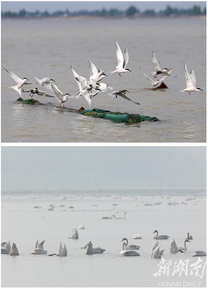 """""""种草""""成效明显,大通湖水质转好,吸引逾10万羽候鸟来此越冬。 徐钢 摄"""