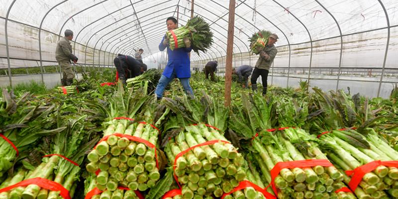 新鲜蔬菜 远销海外