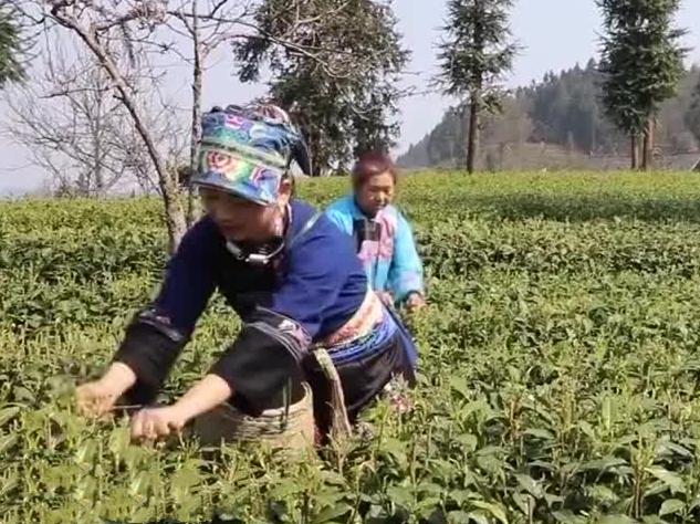 乡村春来早:春茶开摘上市