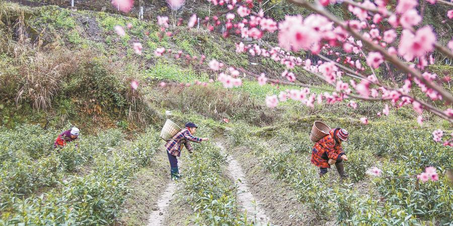 春暖花开 茶韵飘香
