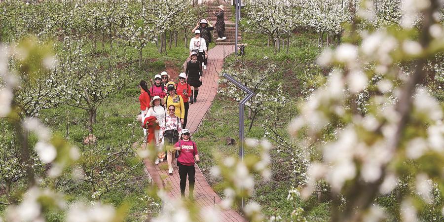梨花开 游客来