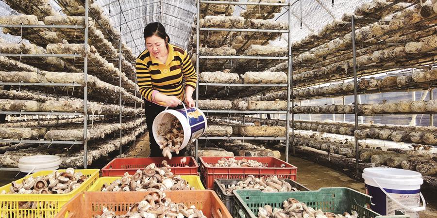 种香菇 促就业 助增收