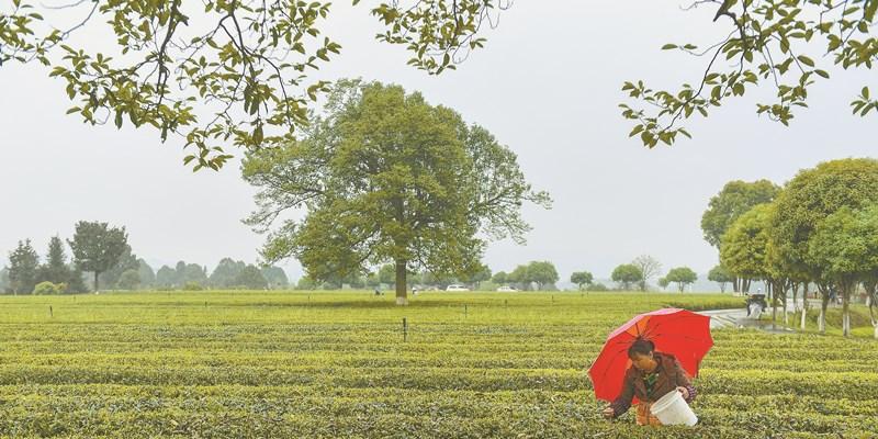 冒雨采春茶