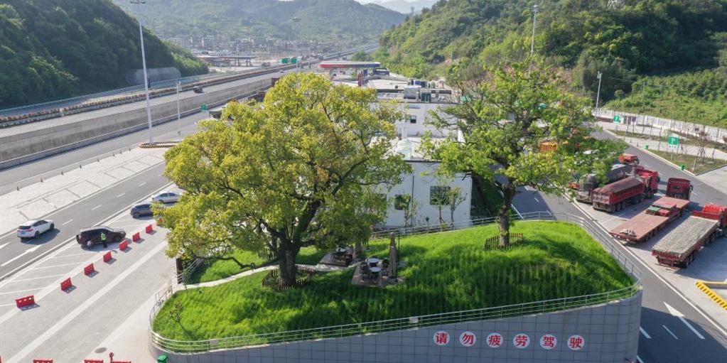 古树成为高速服务区景观