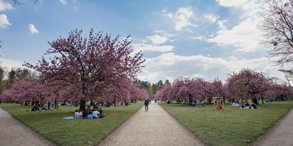 法国:樱花盛开