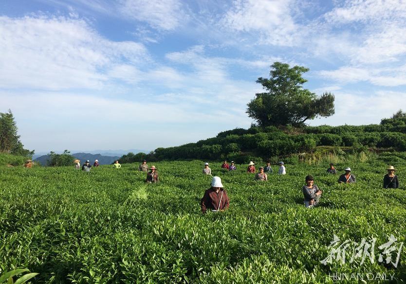 贫困户在八角茶业青云观茶园采茶。