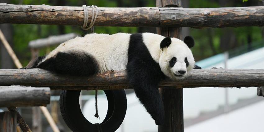 """长春大熊猫开启""""度假""""模式"""