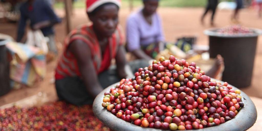 肯尼亚迎来咖啡豆收获季