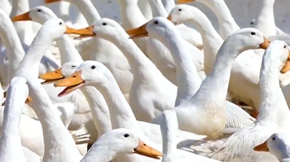 国之大者⑨|侯水生:水暖鸭先知 心潮逐浪高