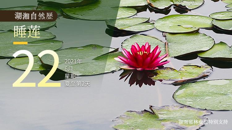 """湖湘自然历丨夏花灿烂㉒漂浮在水面的""""睡美人"""""""