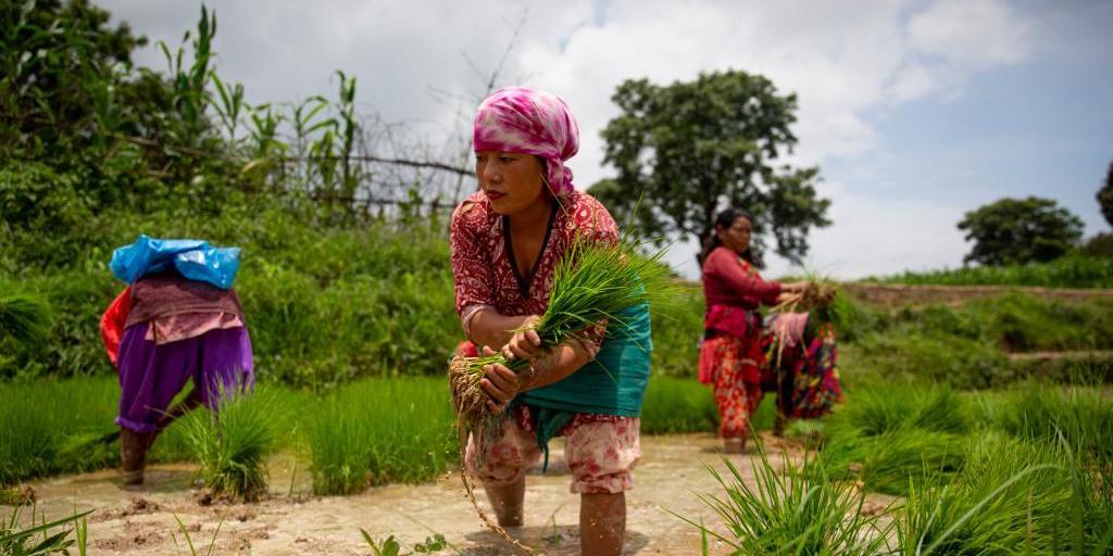 尼泊尔水稻种植季开始