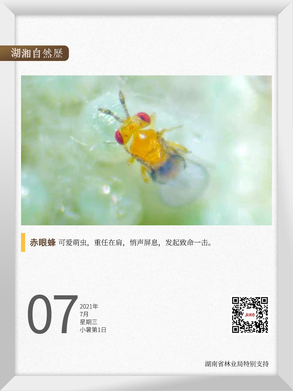 """湖湘自然历丨夏日昆虫记②不到1毫米的""""田间卫士"""",有多大能耐"""