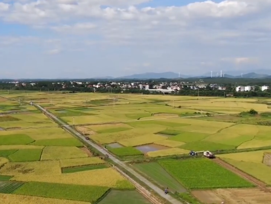 湖南:早稻丰收在望 各地陆续开镰