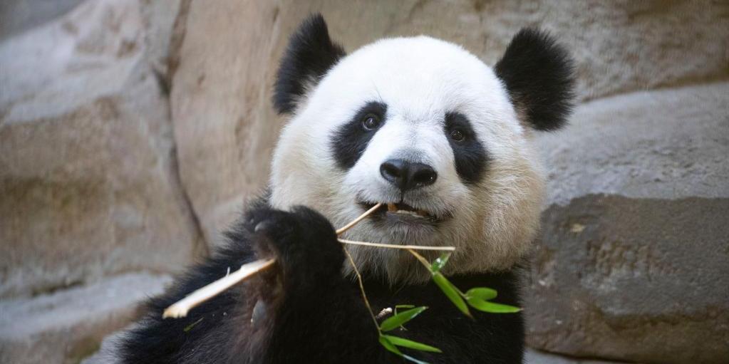 """中国旅法大熊猫""""欢欢""""再次怀孕"""