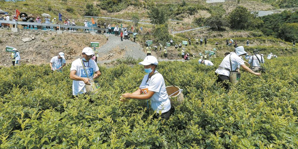发展莓茶产业 助力乡村振兴