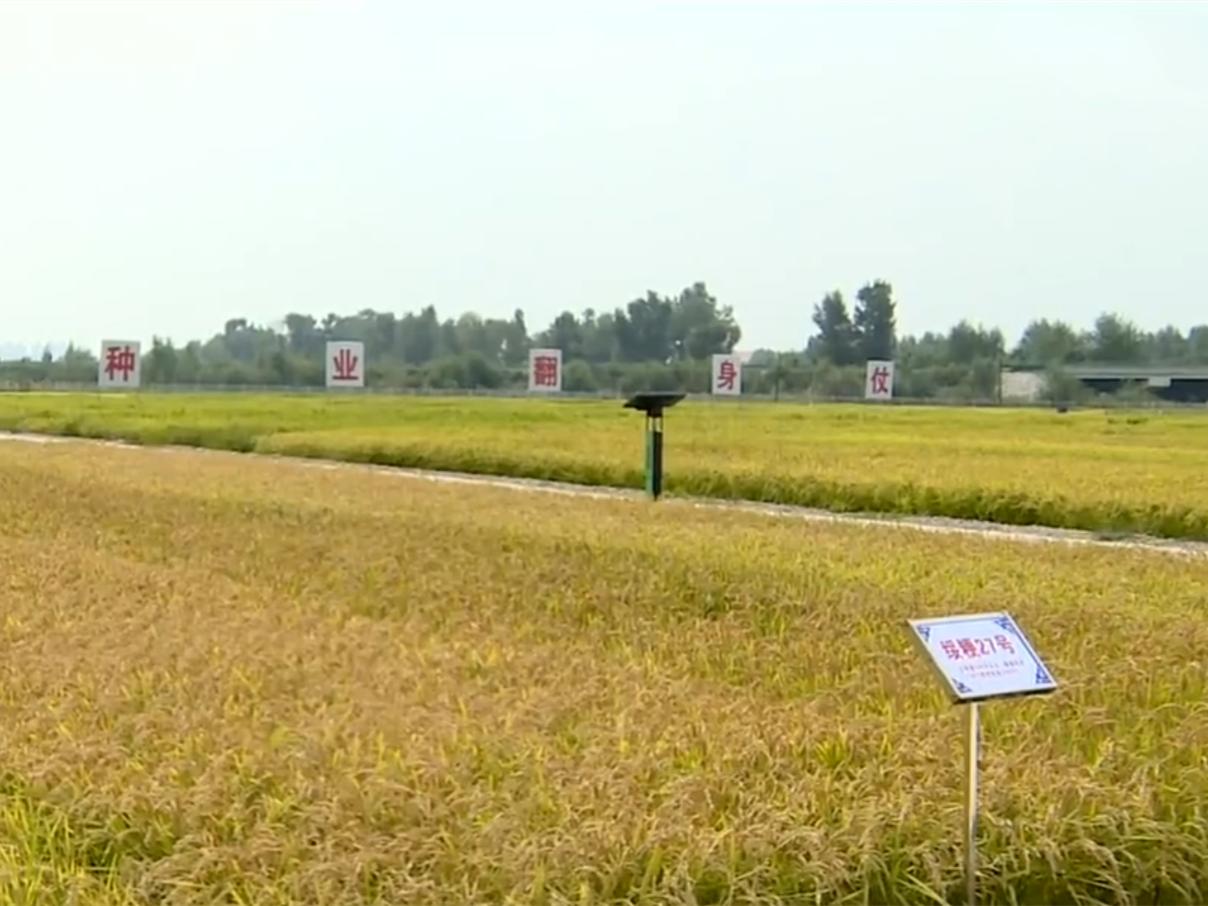 耐盐碱杂交水稻亩产有望达480公斤
