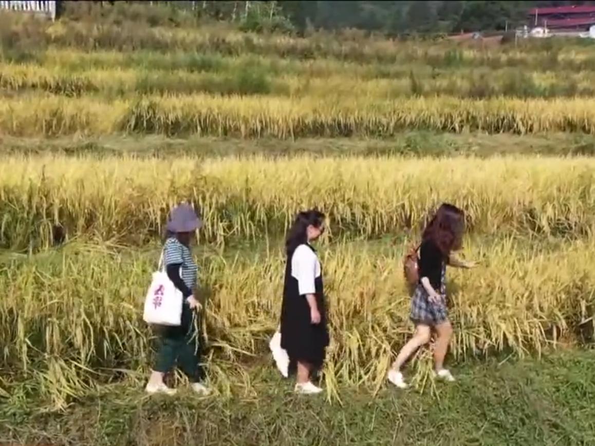 芷江县:千丘田优质稻开镰收割
