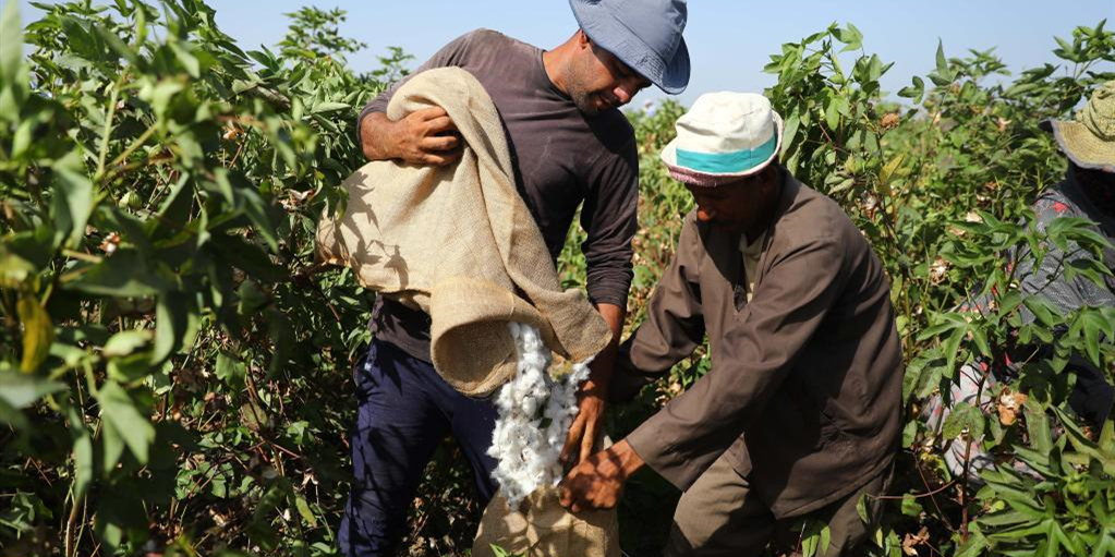埃及进入棉花采摘季