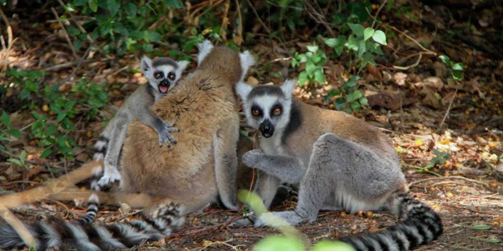 马达加斯加安达西贝国家森林保护区的狐猴