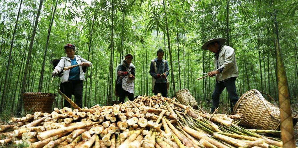 贵州赤水:5万亩大竹笋丰收上市
