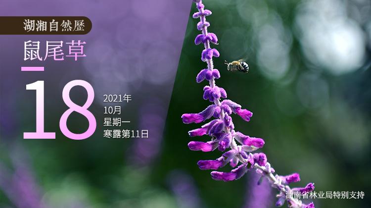 湖湘自然歷|紫色而芬芳的,不(bu)只有薰衣草(cao)